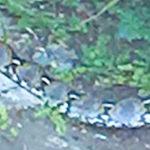 【タイ】バンコクの町中にニシキヘビ!衝撃の捕食シーンやヤモリのトッケーの画像など「閲覧注意」